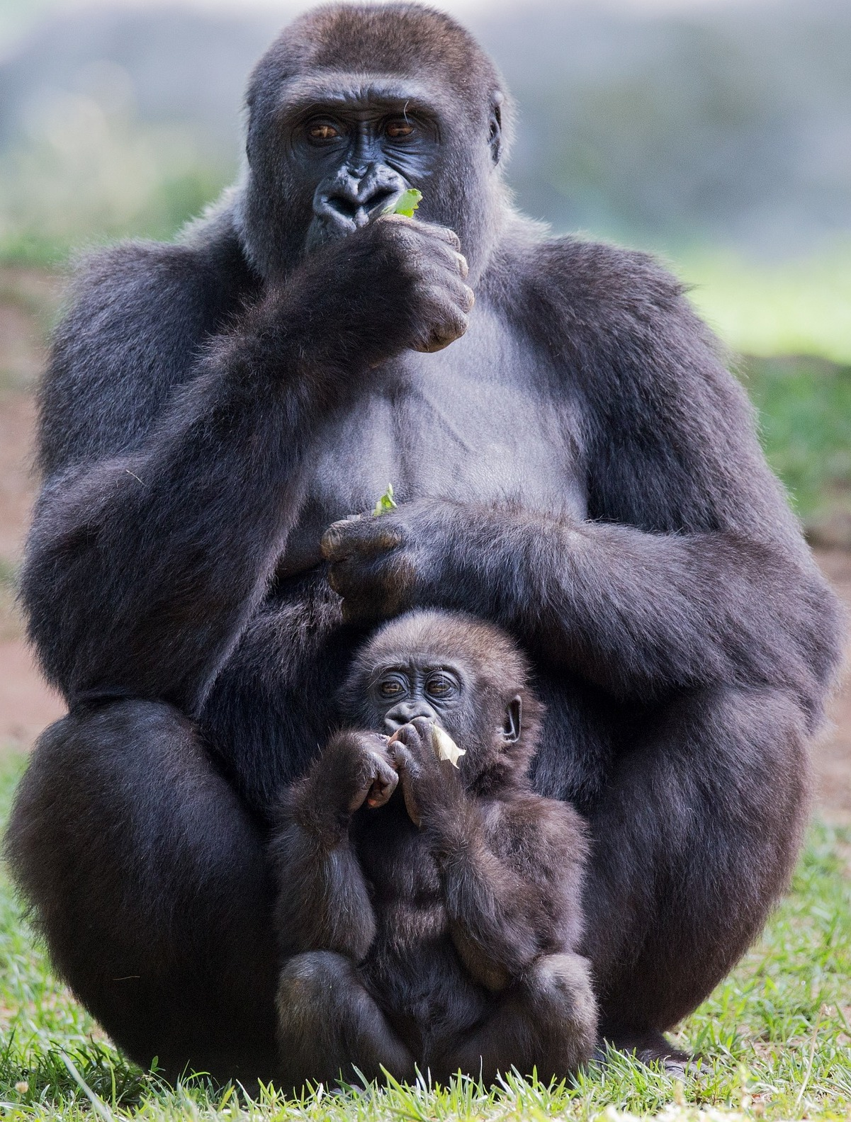 Picture of a gorilla and child eating.