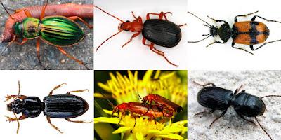 ωφέλιμα έντομα-Σκαθάρια του εδάφους