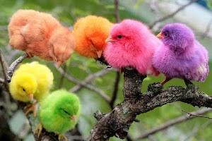 Anak Ayam Warna-Warni