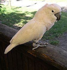 ini dikenal di dunia internasional dengan nama  Mengenal Burung Kakatua Maluku
