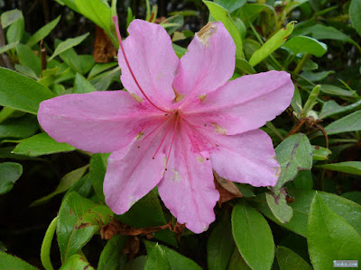 花びらが7枚のオオムラサキツツジ