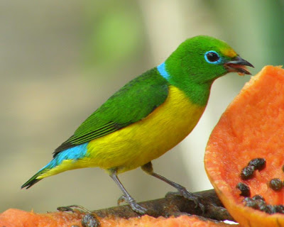 Blue naped Chlorophonia