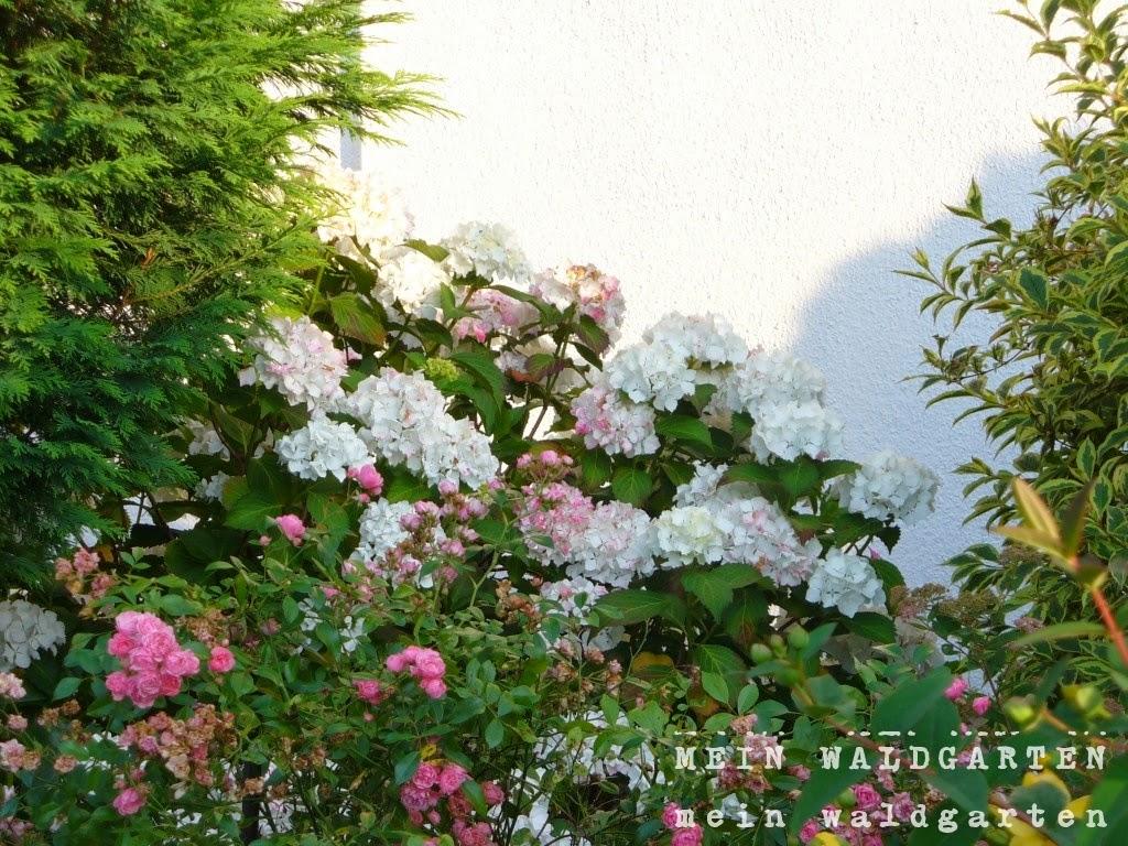 mein waldgarten hortensien schneiden. Black Bedroom Furniture Sets. Home Design Ideas