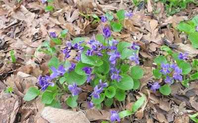 English violets, Viola odorata