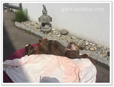Boxer Amy beim Sonnen im Hof