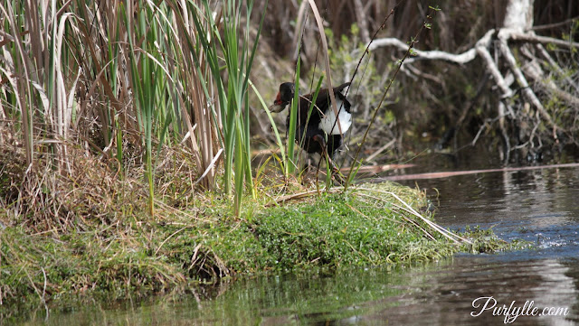 Mother swamphen's chick is hiding in the rushes