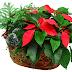 Jardín Constanza ofrece hermosas flores para esta Navidad