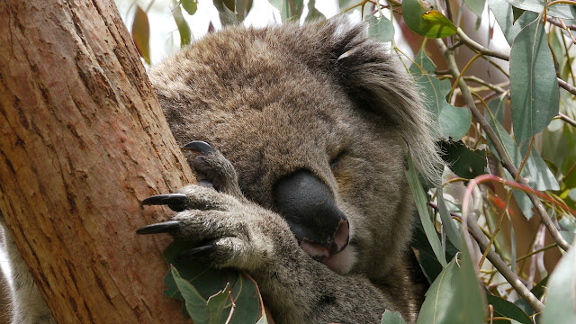 tired koala bear