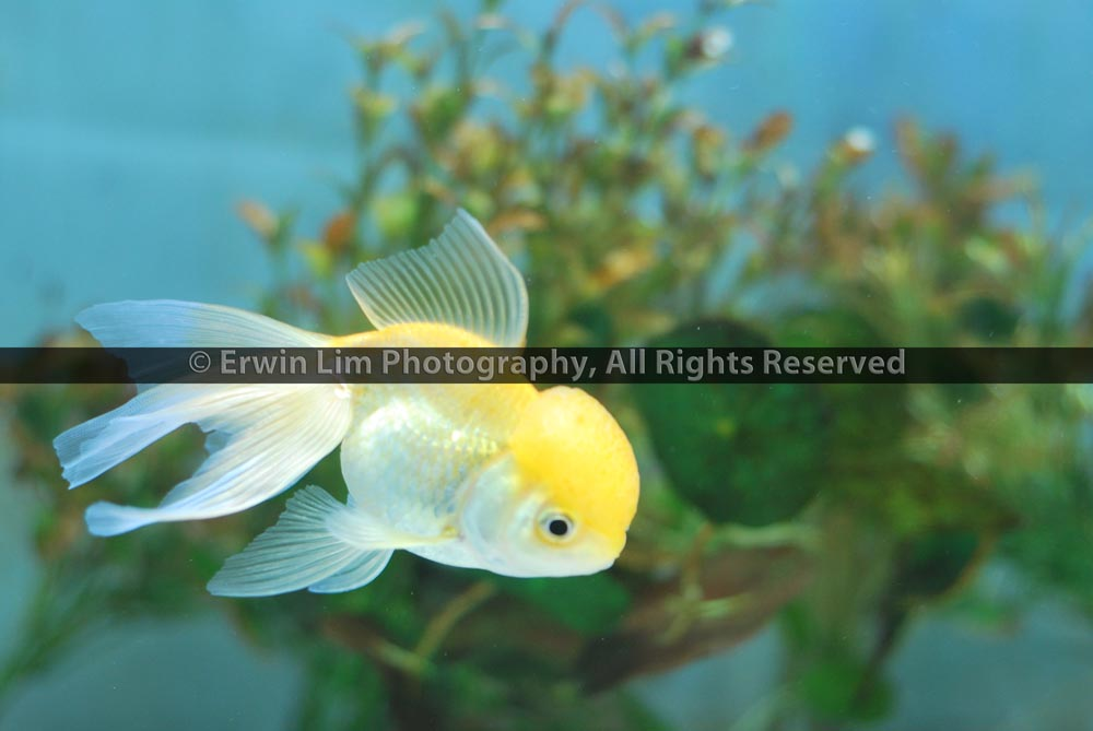 White goldfish