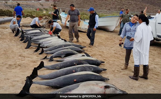 Dolphins Die