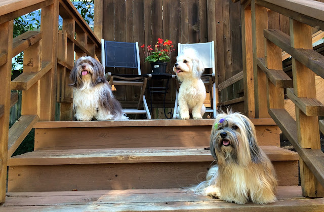 Three Havanese in different colors sable brindle gold white