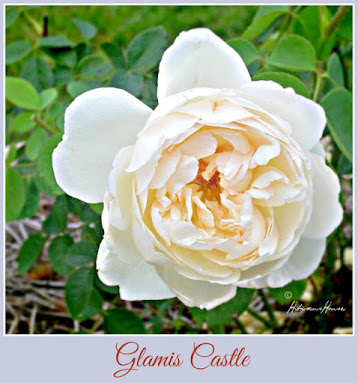 Glamis Castle English Rose