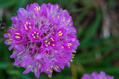 [Plumbaginaceae] Armeria alpina – Alpine Thrift (Spillone alpino)