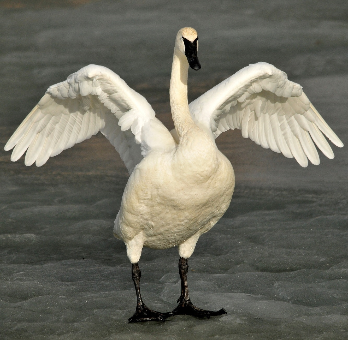 Picture of a trumpeter swan flapping wings.