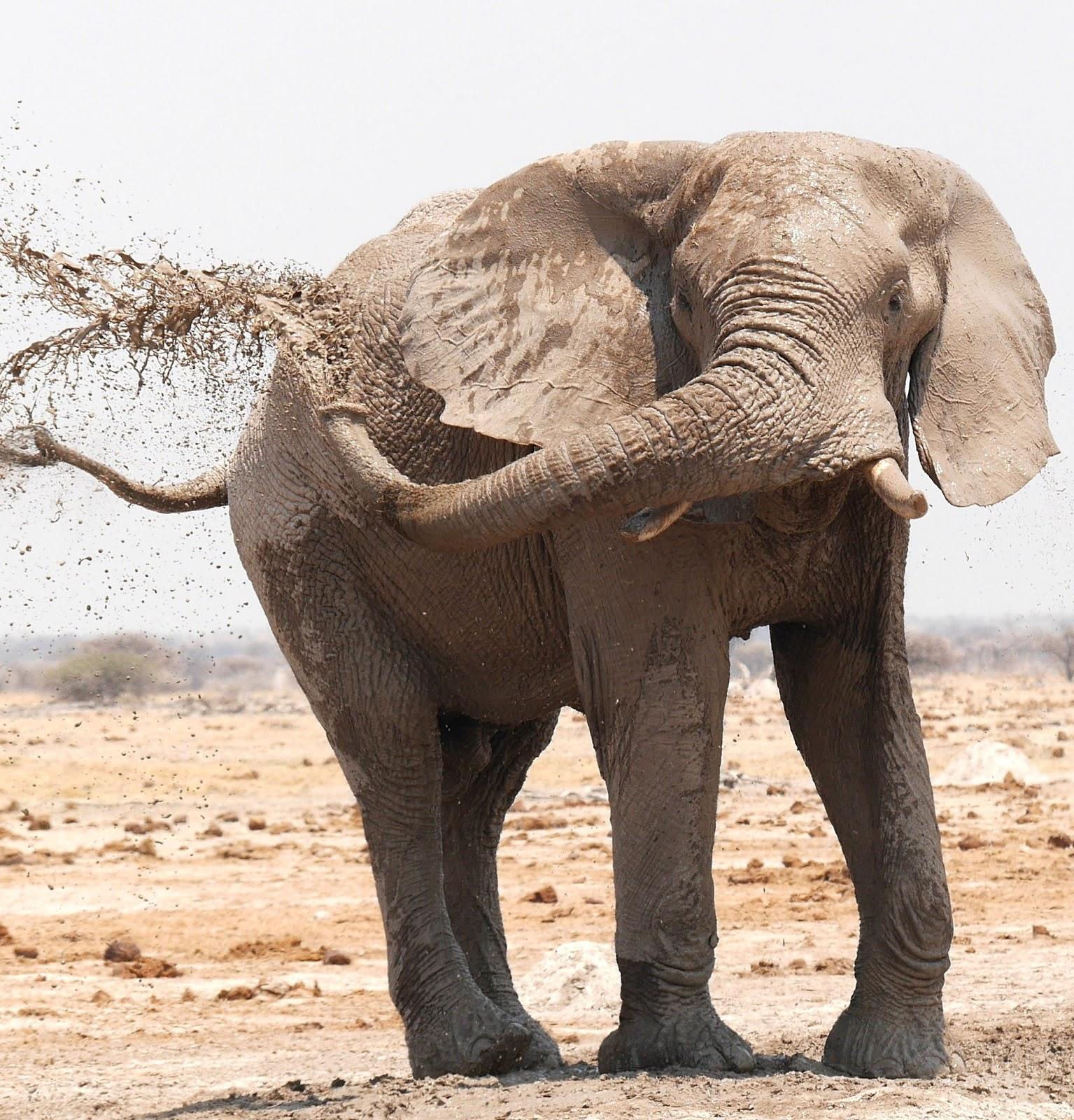 An elephant spraying mud on itself.