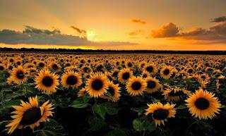 Gambar Bunga Matahari Cantik 2