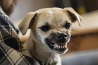 Dresser un chien avec un comportement agressif