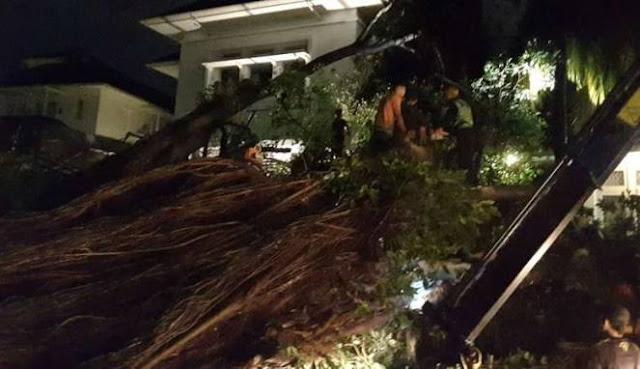 Penampakan Pohon Beringin Besar di Dekat Markas Kampanye Ahok Tumbang, Salah Satu Mobil Ahoker Tertimpa
