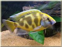 Venustus Cichlid Fish Pictures