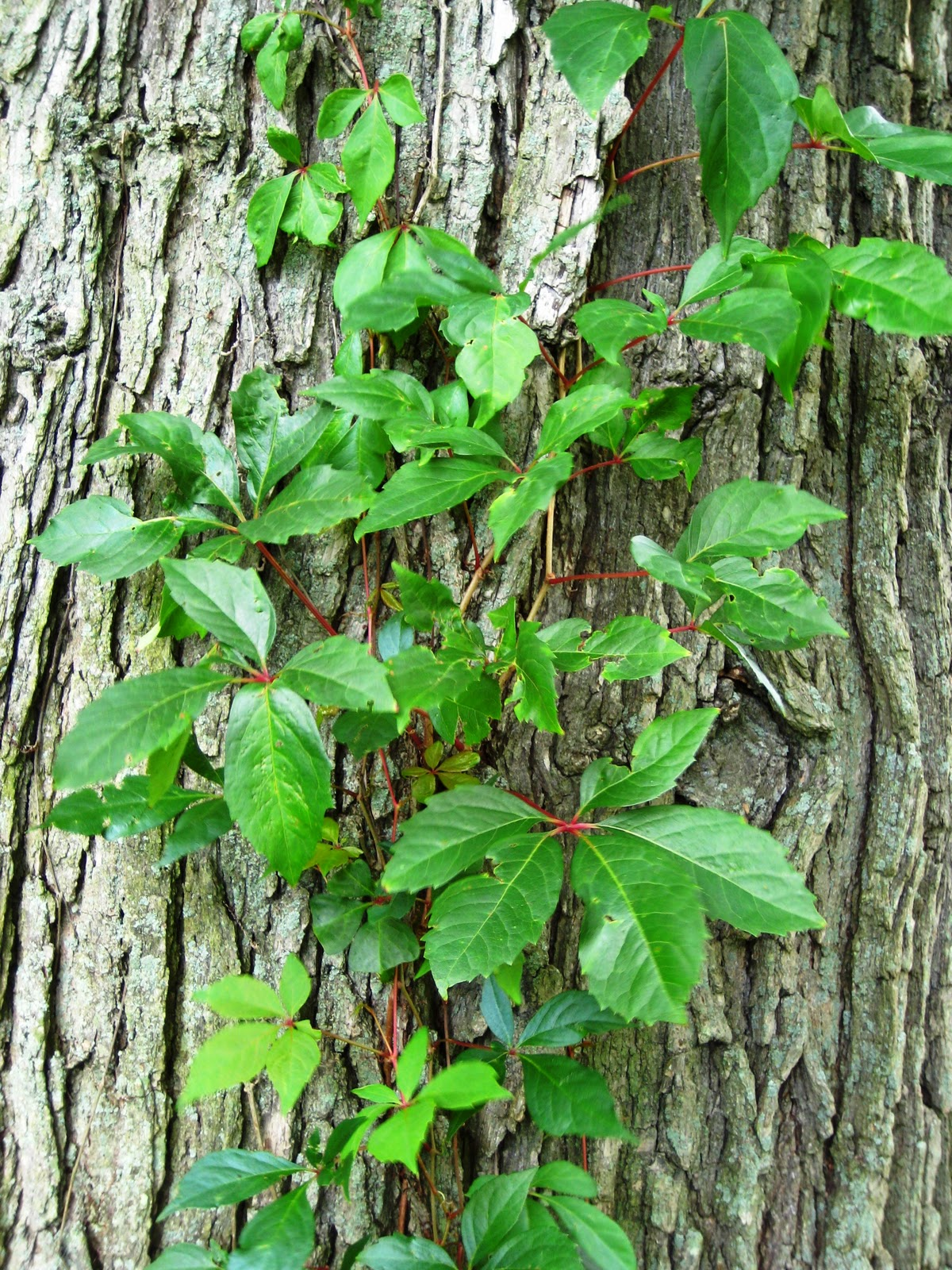 Rampicanti Che Crescono All Ombra tra orto e giardino: parthenocissus tricuspidata o vite