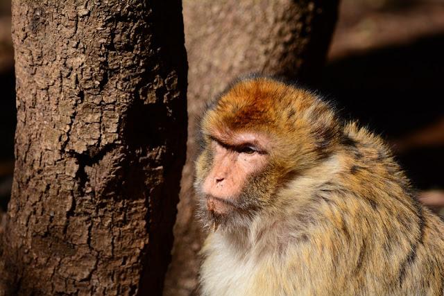 Macaca sylvanus et son beau pelage Maroc