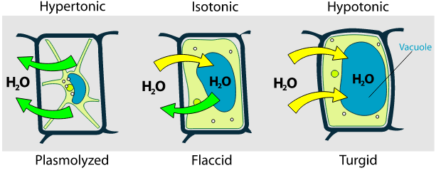 Vacuolas y osmosis