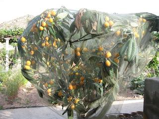 fotografia de árbol de nispero envuelto en malla