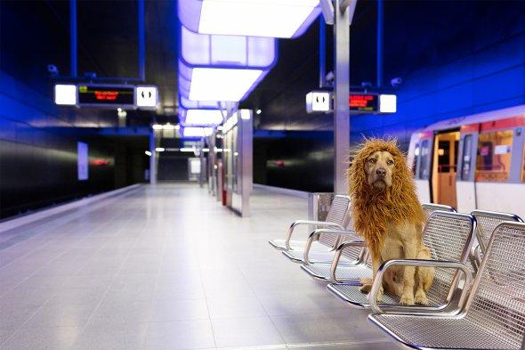 Julia Marie Werner fotografia cão cachorro fantasiado como leão cidade grande big city lion