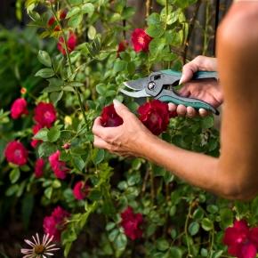 подрязване на рози