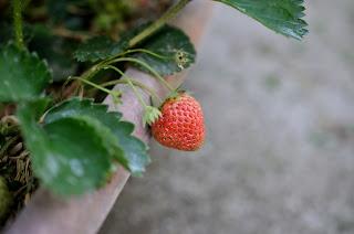 赤いイチゴ
