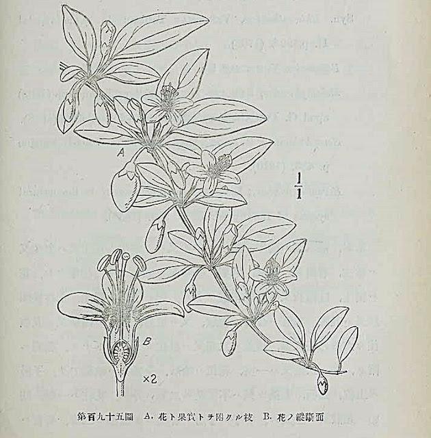 Kolcowój chiński (Lycium chinense) czyli jagoda goji - jak uprawiać, jak wygląda, skąd pochodzi, historia, wygląd, opis, wzrost, uprawa, hodowla, owocowanie, kiedy kwitnie i owocuje, inne nazwy, jak jeść jagodę goji, uprawa z nasion, siew, wysiew w domu w dnocizce w Polsce, rozmnażanie, sadzonki, mrozoodporność, podlewanie