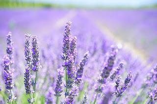 lavender,www.healthnote25.com