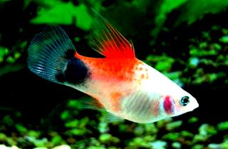Tips Cara mudah budidaya ikan platy