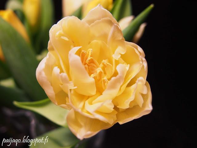 keltainen tulppaani