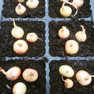 gardening, planting onions, tricks to planting onions, pig row