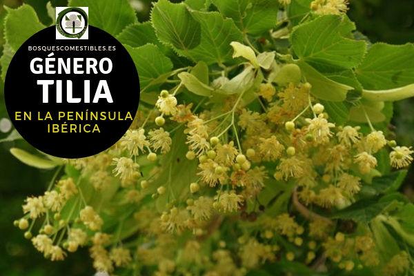 Lista de especies del Género Tilia, Tilos, Familia Tiliáceas en la Península Ibérica.