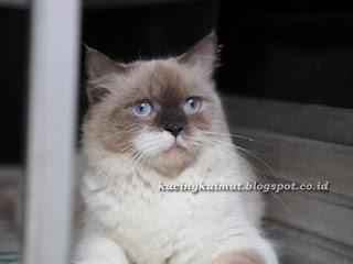kucing betina birahi siap kawin