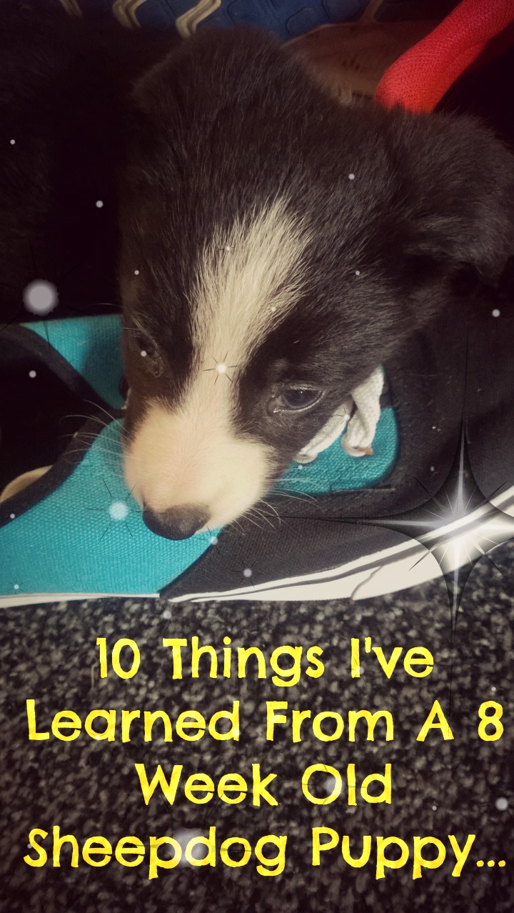 10 Things I've Learned From An 8 Week Old Sheepdog