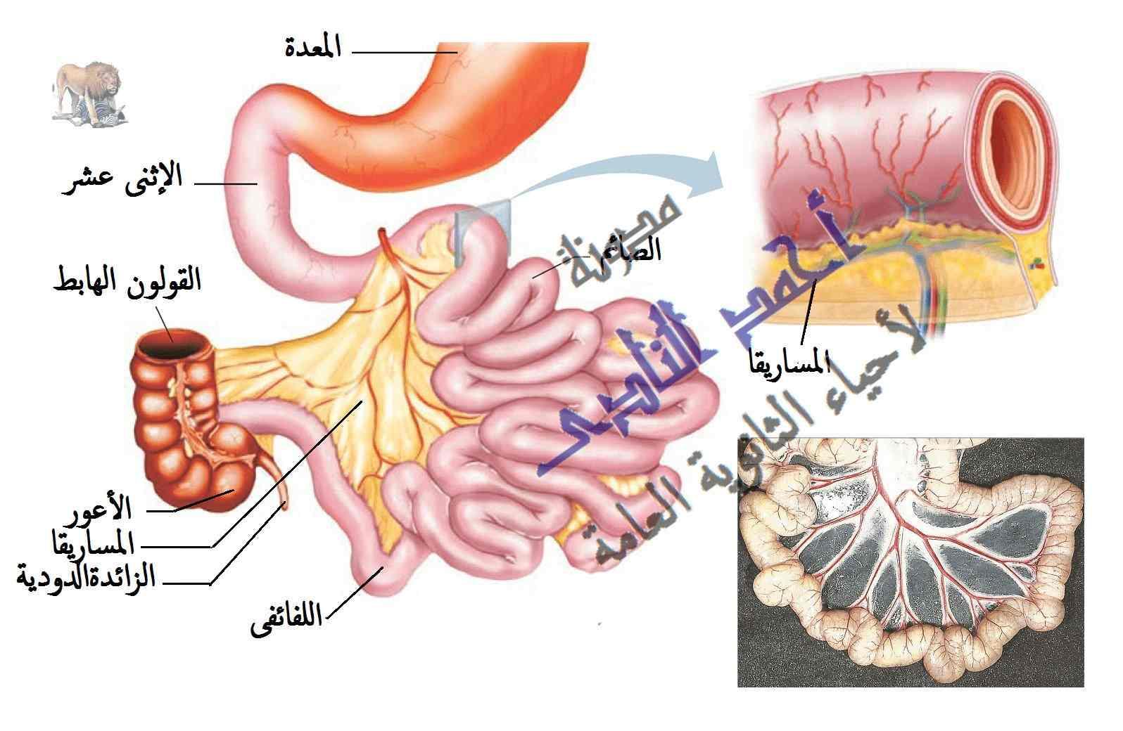 مدونة أحمد النادى لأحياء الثانوية العامة – التغذية غير الذاتية – الإمتصاص فى الأمعاء - المساريقا - الكبد -  الطريق الدموى