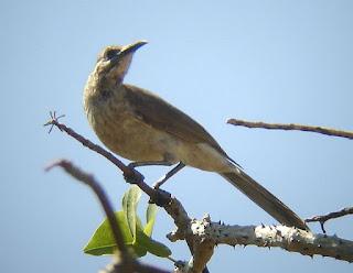Suara Burung Cucak Rawa Timur/Cikukua Timur