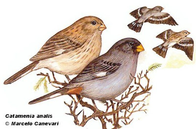 Piquitodeoro común Catamenia analis