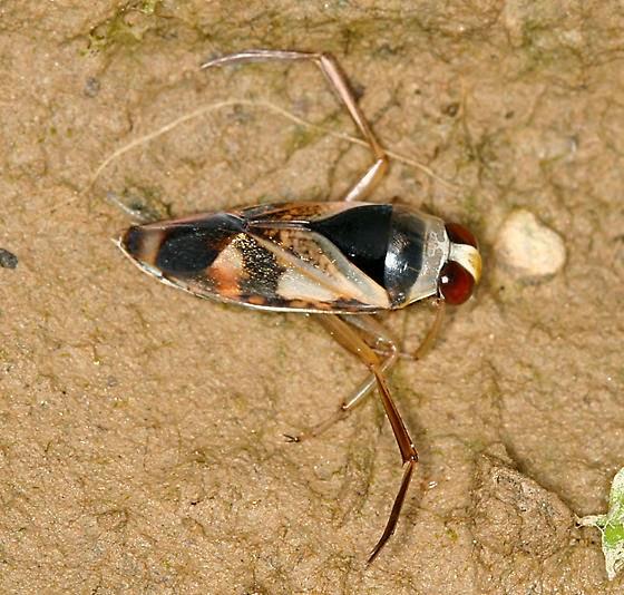 Bug Eric Backswimmer Or Water Boatman