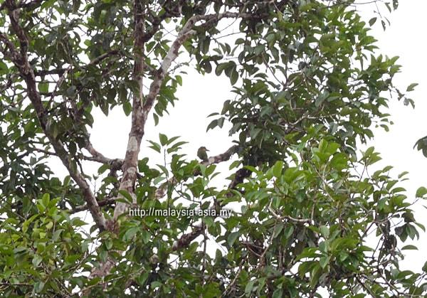 Birding Hornbill Valley Taman Negara