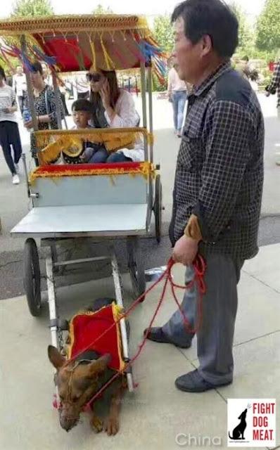 """¡Indignante! En China está haciendo """"moda"""" los perros taxis"""