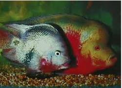 Ikan Hias Air Tawar Termahal berjejer