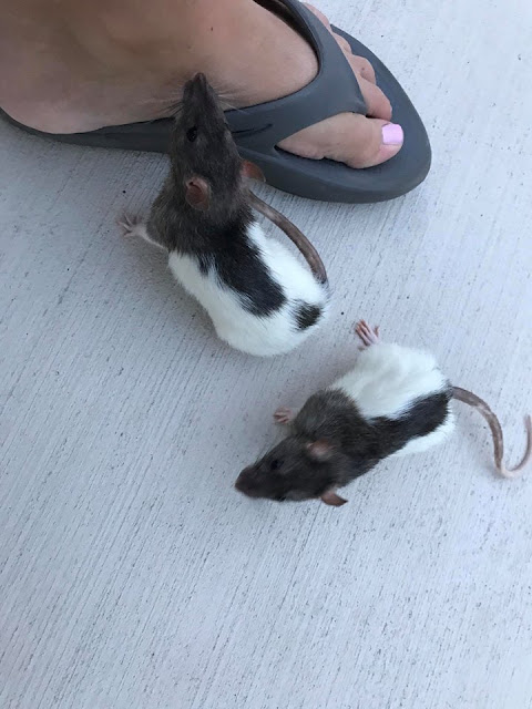 two pet hooded rats playing at a woman's feet