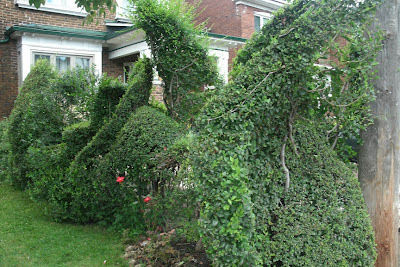 Freeform topiary hedging by garden muses: a Toronto gardening blog