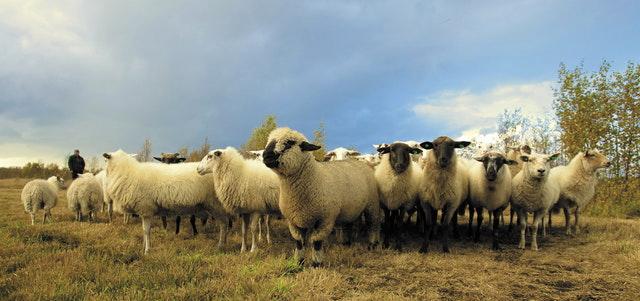 Image of young sheep in a pasture with man looking on