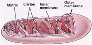 Mitokondria terdiri atas 2 membran