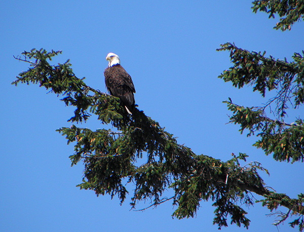 Bald eagle on an evergreen branch